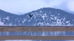 Bald Eagle in long flight over water to a landing in a field Stock Footage