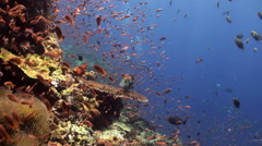 Stock Video Footage of School of colorful fish and big sweetlips on reef.