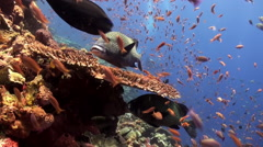 School of colorful fish and big sweetlips on reef. - stock footage