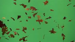 Autumn oak leaves falling in ultra-slow motion on green background Stock Footage