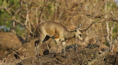 Feeding klipspringer antelope, wildlife, Kruger National Park, South Africa Stock Footage