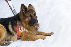 Stock Photo of Rescue dog at Mountain Rescue Service
