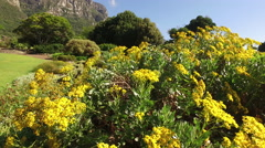 Kirstenbosch botanical gardens against Table mountain, Cape Town, South Africa Stock Footage