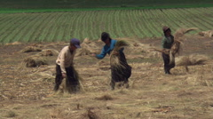 Farm family spreading hay over hillside pasture, windrows of cut grass in Stock Footage