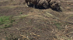 Tethered sheep eating hay on a hillside farm near Cuenca, Ecuador Stock Footage