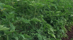 Right pan from close-up tomatoes in blossom to Salvadoran farmer inspecting - stock footage