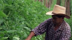 Close-up of Salvadoran farmer checking tomato plants Stock Footage