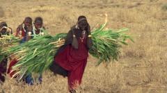 Young Masai women carrying freshly cut maize, walking toward camera Stock Footage