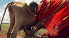 Masai woman milking a cow Stock Footage