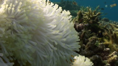 Yellow Clownfish In White Anemone In Blue Sea. Stock Footage