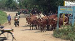Fulani cattle being driven by herdsman with sticks along road near Bundibugyo, - stock footage