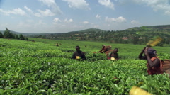 Wide view of harvesters clipping leaves on an East African tea plantation - stock footage