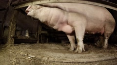 Female Pigs Rages in The Mating Season in a Dark barn gnaws iron fence Stock Footage