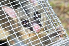Possum Caught In a Trap - stock photo