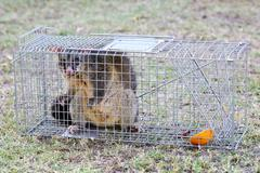 Possum Caught In a Trap Stock Photos