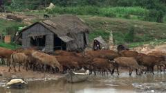 Cambodia: Boys herding cattle across a stream Stock Footage