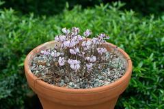 Soft violet cyclamen flowers - stock photo