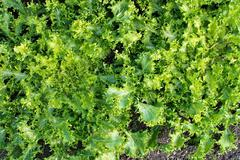 Green salat Cichorium endivia - stock photo