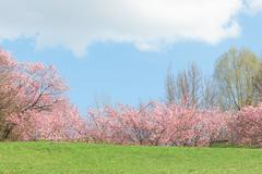 Springtime pink flowering apple trees in blooming nature sunshine landscape - stock photo
