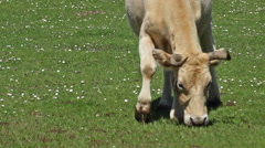 Stock Video Footage of Cow in a meadow walking and drinking