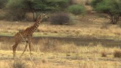 Giraffe walking across African savanna Stock Footage