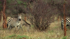 Three zebras walking near thorn bushes in Africa Stock Footage