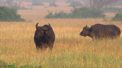 Two Cape buffalo bulls standing on African savanna Stock Footage