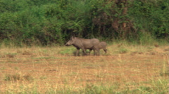 Two warthogs walking across clearing in African bush - stock footage