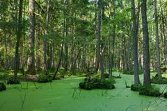 Natural stand of Bialowieza Forest with standing water and Duckweed - stock photo