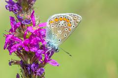 Butterfly on a pink flower. Stock Photos
