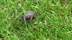 Stag beetle crawling in grass Stock Footage