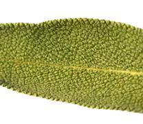 Leaf sage tea Stock Photos