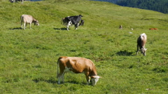 Cows grazing on a green alpine meadow Stock Footage