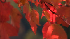 Close-up of fluttering fall foliage - stock footage