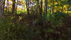 Backlit thicket in early fall colors Stock Footage