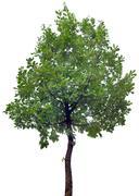 Oak Tree Cutout Stock Photos
