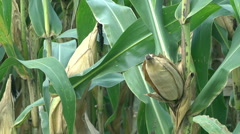 Corn cobs on green Cornfield Stock Footage