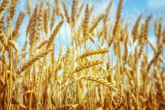 Wheat field right before harvesting - stock photo
