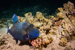 Blue-and-gold triggerfish - stock photo