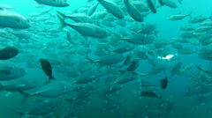 Shoal of jack fish in tulemben in Bali, Indonesia Stock Footage