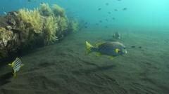 Big sweetlips fish on sandy bottom in search food. Stock Footage