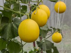 Yellow Cantaloupe melons growing in a greenhouse - stock photo