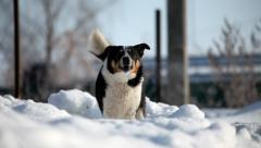 Dog barks at snow location Stock Footage