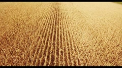 Field corn, in rural meadow, nature Idea of a rich harvest. aerial shot Stock Footage