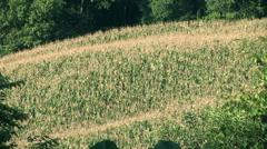 Green Cornfield plantation2 Stock Footage