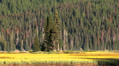 Golden meadows along a lakeshore with forest in background Stock Footage
