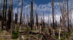 Standing dead trees and seedling growth on an old fire site - stock footage