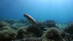 Sea turtle is swimming on reef in search of food. - stock footage