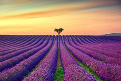 Lavender and lonely trees uphill on sunset. Provence, France - stock photo
