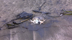 Stock Video Footage of Dead crab on oil-contaminated beach